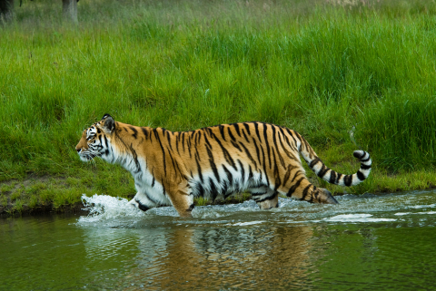 This image has an empty alt attribute; its file name is About-India-Tiger.jpg